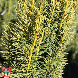Taxus baccata Fastigiata Aurea Group