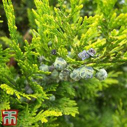 Thuja occidentalis 'Salland'