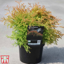 Thuja occidentalis 'Fire Chief'