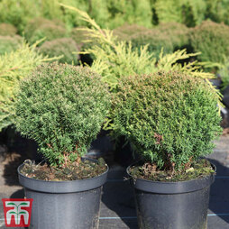 Thuja occidentalis 'Teddy'