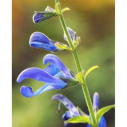 Salvia 'African Sky'
