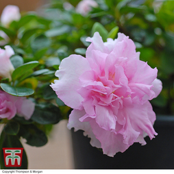 Rhododendron 'Betty Anne Voss' (Azalea Group)