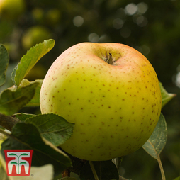 Apple 'Herefordshire Russet'