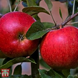 Apple 'Katy'