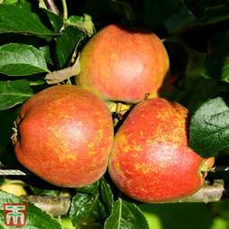 Apple 'Kidd's Orange Red'