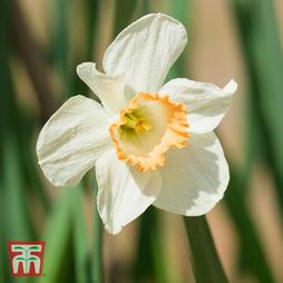 Narcissus 'Passionale'