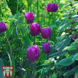 Tulip 'Purple Flag'