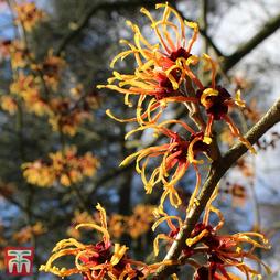 Hamamelis x intermedia 'Orange Beauty'