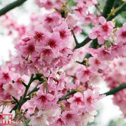 Prunus nipponica var. kurilensis 'Ruby'