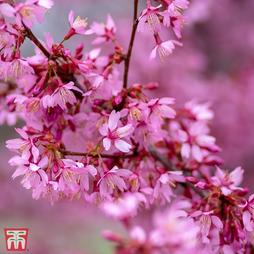 Prunus x incam 'Okamé'