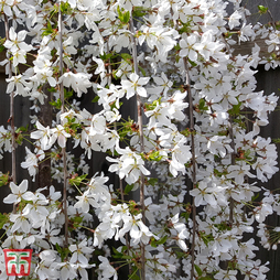 Prunus 'Snow Fountains'