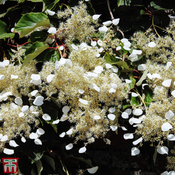 Schizophragma hydrangeoides var. concolor 'Moonlight'