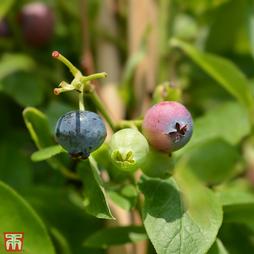 Blueberry 'Goldtraube 71'