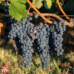 Grape 'Merlot'