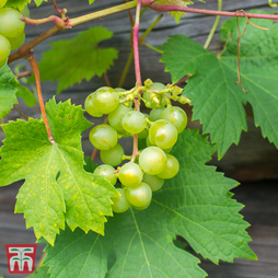 Grape 'Muscat of Alexandria'
