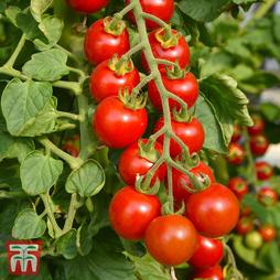 Tomato 'Ruby' F1