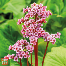 Bergenia cordifolia 'New Winter Flowering Hybrids'