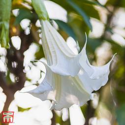 Datura metel 'Double White Lady'