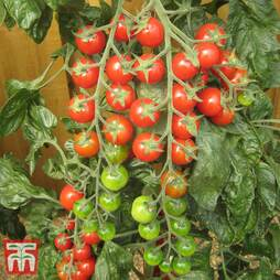 Tomato 'Sugar Gloss' F1 Hybrid
