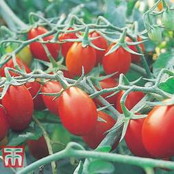 Tomato 'Ship Saint' (National Trust)
