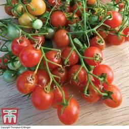 Tomato 'Cherry Cascade'