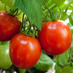 Tomato 'Nimbus' F1 Hybrid
