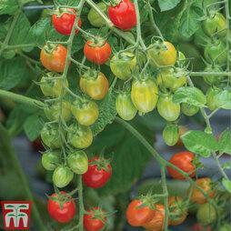 Tomato 'Celano' F1 hybrid