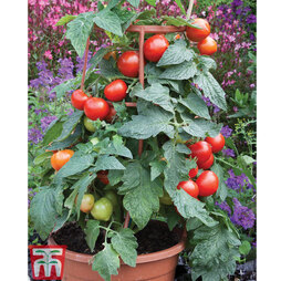Tomato 'Divinity' F1 hybrid