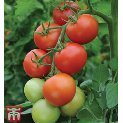 Tomato 'Moneymaker'