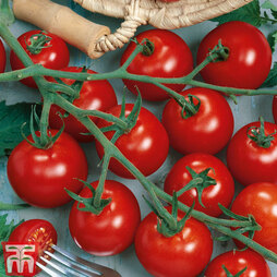 Tomato 'Piccolino' Grafted