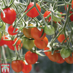 Tomato 'Tomberry Red' Grafted