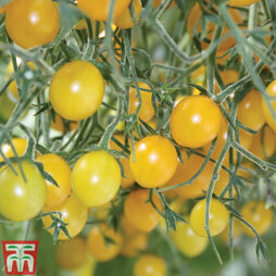 Tomato 'Tomberry Yellow' Grafted