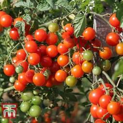 Tomato 'Sweet Million' F1 Hybrid