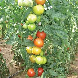 Tomato 'Essex Wonder'