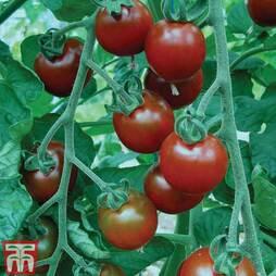 Tomato 'Garnet'