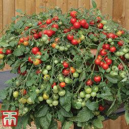 Tomato 'Red Profusion'