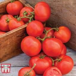 Tomato 'Oh Happy Day' F1 Hybrid