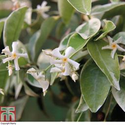 Trachelospermum jasminoides 'Variegatum' (Large Plant)