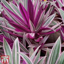 Tradescantia spathacea 'Sitara' (House Plant)