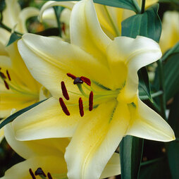 Tree Lily 'Yellow Rocket'