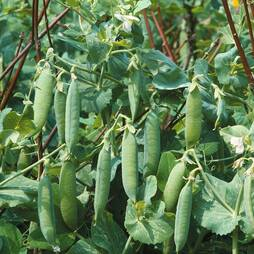 Pea 'Kelvedon Wonder' (Start-A-Garden™ Range)
