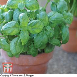 Basil 'Sweet Green' (Start-A-Garden™ Range)