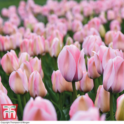 Tulip 'Bella Blush'