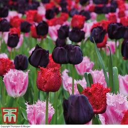 Tulip 'Berry Sorbet'