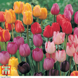 Tulip 'Darwin Mixed'