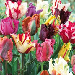 Tulip 'Parrot Mixed'
