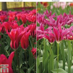 Tulip 'Purple Doll' & Tulip 'Doll's Minuet'