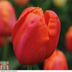 Tulip 'Avignon'