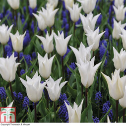 Tulip 'White' and Muscari 'Blue' Mix