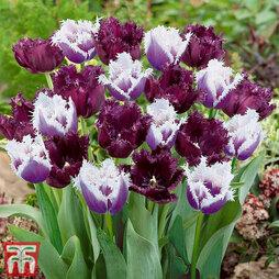 Tulip 'Black Cherry Frost'